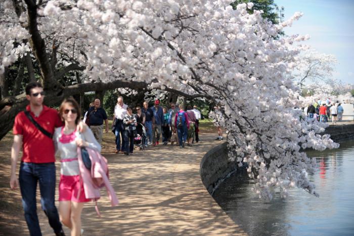 Cherry Blossom - Washington DC